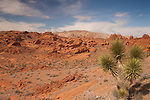 Joshua tree and red rock formations