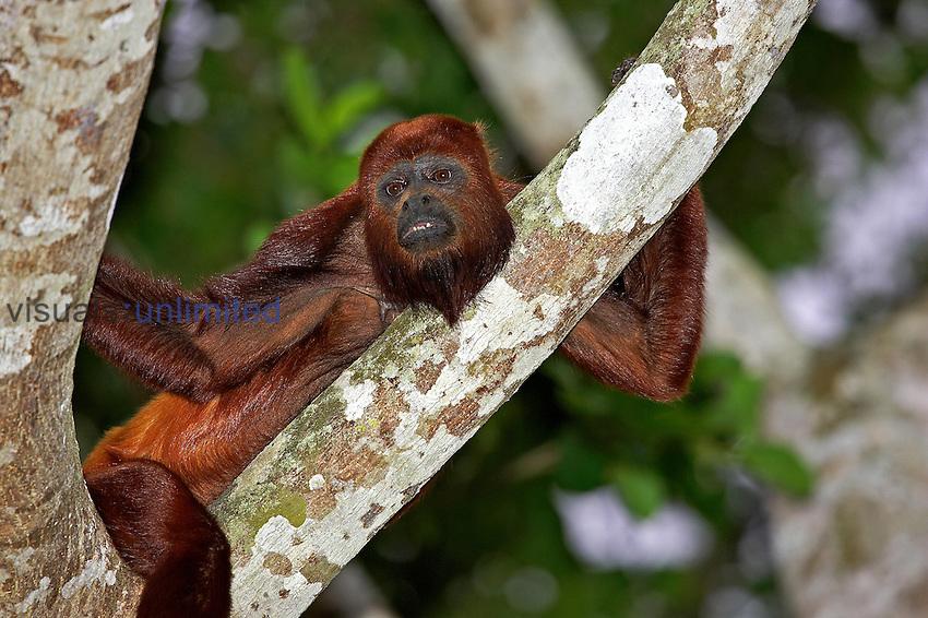 Red Howler Monkey (Alouatta seniculus), Venezuela.
