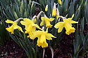 Yellow daffodil blossoms in garden with stems and greens