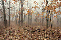 Path in the woods Series: A misty day in late Fall walking the path covered with leaves. Missouri USA