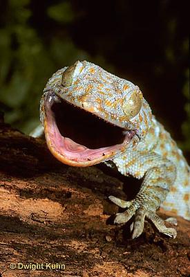 GK26-007x  Tokay Gecko - theatening intruder -  Gekko gecko