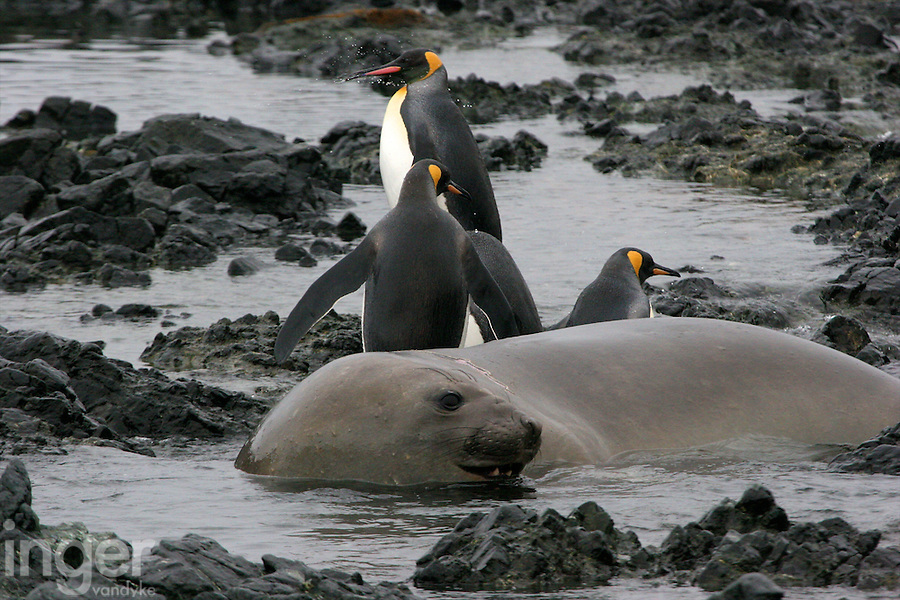 Southern Elephant Seal female with King Penguin on Macquarie Island, Antarctica