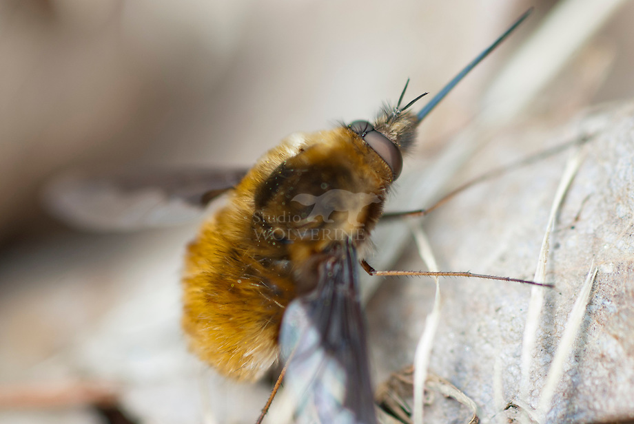 Grote Wolzwever (Bombylius major)