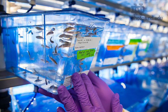 Feb. 6, 2015; Zebrafish tank, Galvin Life Science, Wingert lab. (Photo by Matt Cashore/University of Notre Dame)