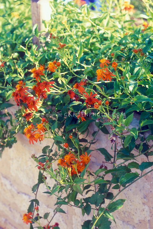 Pseudogynoxys chenopodioides Mexican Flame Vine