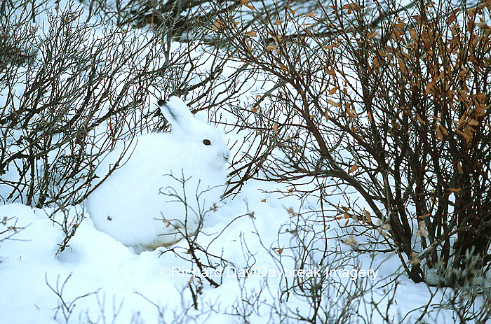 02206-00206 Arctic Hare (Lepus timidus) in willows, Churchill  MB