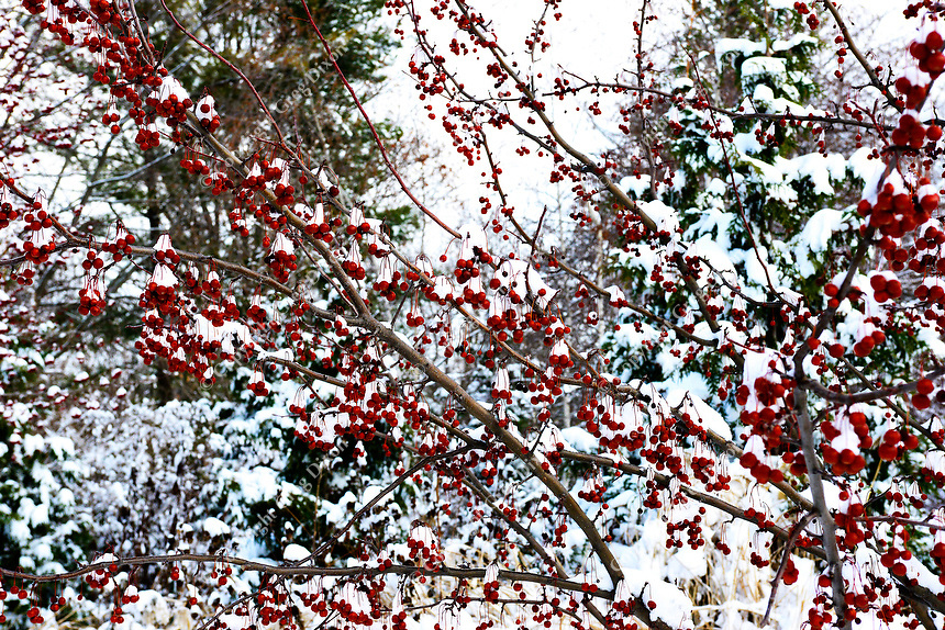 Berries are covered with snow in Olbrich Botanical Gardens after the winter snowstorm on Sunday, December 22, 2013, in Madison, Wisconsin
