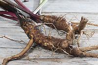 Große Klette, Grosse Klette, Butzenklette, Wurzel, Wurzelstock, Wurzeln, Klettenwurzel, Klettenwurzeln, Arctium lappa, greater burdock, gobō, edible burdock, lappa, beggar's buttons, root, roots, root stock, La Grande Bardane, Bardane officinale, Bardane commune