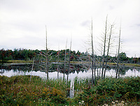 ACID RAIN DAMAGE TO PINE TREES<br />