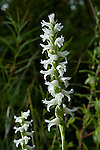 Nodding Ladies-Tresses Orchid, Spiranthese cernua