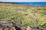 Euphorbia balsamifera and Kleinia Nerifolia growing on lava flows Malpais de Corona, Lanzarote, Canary Islands, Spain