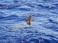 Galapagos shark w/dorasal fin sticking out of water, North Shore, Oahu
