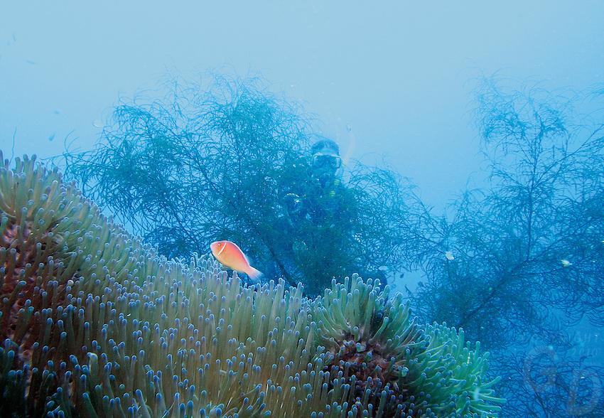 Annemone and clownfish over the wrecks in Truk lagoon, Chuuk Micronesia