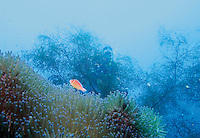 Annemone and clownfish over the wrecks in Truk lagoon, Chuuk Micronesia