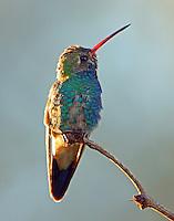 Subadult male broad-billed hummingbird