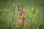 "HAPPY HARE.  A hare appears to break into a grin as it sniffs some long grass. (SEE MAIN IMAGE)<br /> <br /> The 'smiling' brown hare was spotted in a field in Tysoe, Warwickshire by Events Manager Richard Ellis.<br /> <br /> Richard said, ""These guys really love fresh grass, she may have picked up the scent of other hares.  While she smelt the grass it looked like it seems to make her smile.  It almost felt like she was posing for me as she certainly knew I was there, I was only about eight feet away.""<br /> <br /> Please byline: Richard Ellis/Solent News<br /> <br /> © Richard Ellis/Solent News & Photo Agency<br /> UK +44 (0) 2380 458800"