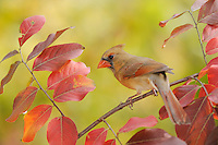 Northern Cardinal (Cardinalis cardinalis), adult female on Crape Myrtle (lagerstroemia), New Braunfels, San Antonio, Hill Country, Central Texas, USA