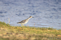 A greater Yellowlegs looks for food along the shore of a brackish wetland at Salisbury Beach State Reservation