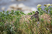 Bald eagle chick in a nest on a seastack along the shore of Cape Douglas, Katmai National Park, Alaska Peninsula, southwest Alaska.
