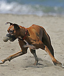 A dog (boxer) plays on Crissy Field Beach in San Franicso, California.