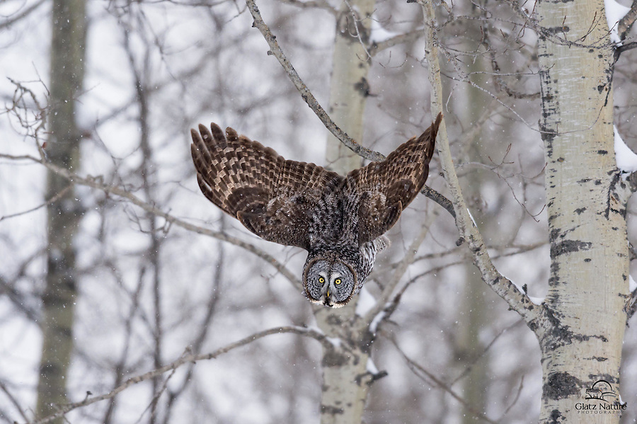 Great Grey Owl (Bubo scandiacus) drops straight down from its perch and spreads its wings.  Alberta, Canada.