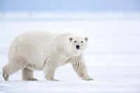 Polar bear walks across the sea ice on Alaska's Arctic coast.