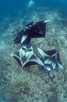 manta researcher Guy Stevens photographs reef manta rays, Manta alfredi, at cleaning station on coral reef, Manta Point, Lankan, North Male Atoll, Maldives, Indian Ocean