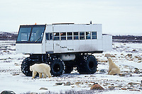 01874-03016 Polar Bears (Ursus maritimus) near Tundra Buggy   Churchill  MB
