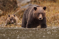 Grizzly Sow standing in the water with her cub behind her on the shore