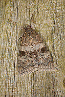 Red Underwing Catocala nupta Wingspan 65-75mm. A large moth that rests with its wings spread flat. The forewing colours and markings are a good match for weathered timber; at rest they conceal the colourful hindwings, but these are revealed as a shock tactic if the moth is alarmed. Adult has grey and brown forewings and black-barred red underwings. Flies August–September. Larva feeds on willows and poplars. Widespread and fairly common only in southern and central England.