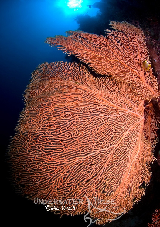 Seafan and sun on a coral reef, Subergorgia sp., Menjangan Island National Park, Pemuteran, Bali, Indonesia, Pacific Ocean