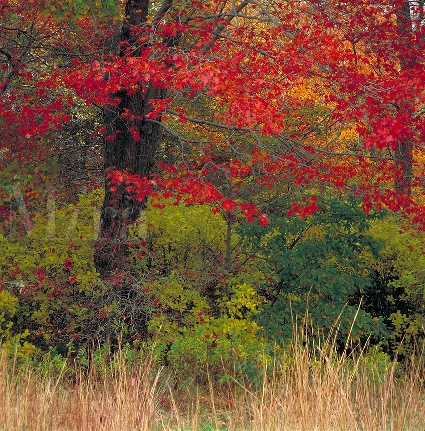 Colorful fall foliage on trees in Massapequa Preserve. New York.