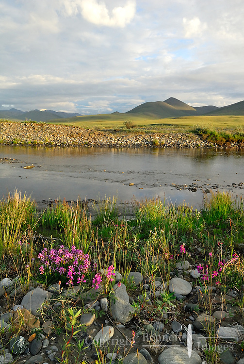 The late evening sun paints flowers, the tundra and the Kongakut River with a distinctive yellow light, in Alaska's Arctic National Wildlife Refuge.