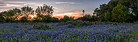 Texas Bluebonnet Sunset Landscape Pano 2 - Texas bluebonnets in the hill country with cactus, a windmill, and a sunset panorama on one of the many back roads we traveled over the last six weeks is a great last minute find. It is always a delight when we can find a nice field of texas bluebonnet wildflowers with prickly pear cactus and a windmill with a great sunset in the sky for that traditional Texas Hill country landscape. This is the iconic Texas scenery in the hill country that we have come to expect. The blue bonnet season is coming to an end for the bluebonnets in the hill country but just around the corner is the other wildflowers that should be popping up shortly to take it place.