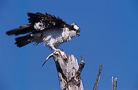 Osprey, Pandion haliaetus,adult eating fish, Sanibel Island, Florida, USA, Dezember 1998