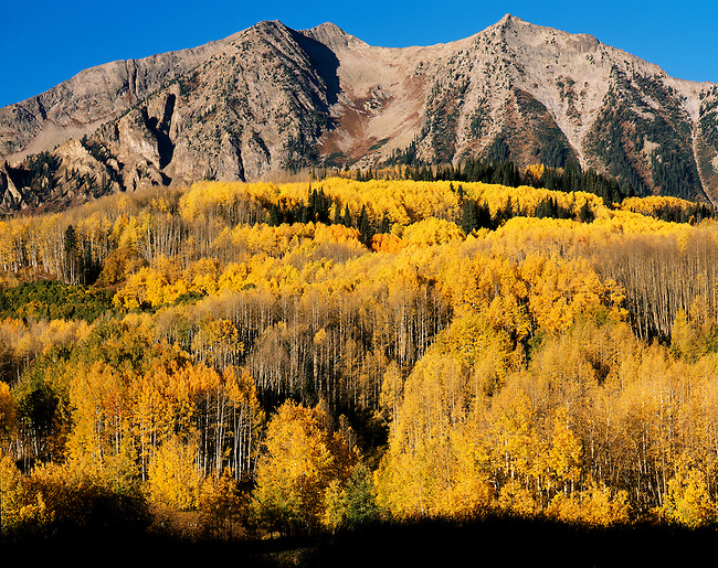 East Beckwith Mountain; aspen in fall color; Gunnison National Forest, Colorado