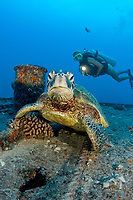 A diver (MR) and green sea turtle, Chelonia mydas, on the wreck of the YO-257 off Waikikik Beach, Oahu, Hawaii, USA, Pacific Ocean