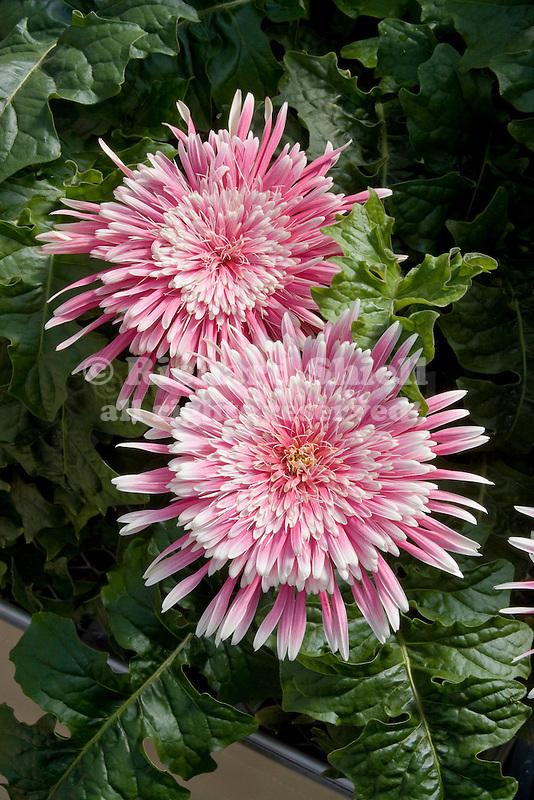 Giant Spinner Pink-White Transvaal Daisy, Gerbera hybrid