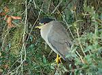 Black-crowned Night Heron in a tree overlooking the Myakka River