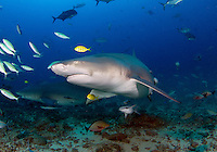 The sicklefin lemon shark or sharptooth lemon shark (Negaprion acutidens) is a species of requiem shark, family Carcharhinidae, widely distributed in the tropical waters of the Indo-Pacific. It is closely related to the better-known lemon shark (N. brevirostris) of the Americas; the two species are almost identical in appearance, both being stout-bodied sharks with broad heads, two dorsal fins of nearly equal size, and a plain yellow-tinged coloration. As its common name suggests, the sicklefin lemon shark differs from its American counterpart in having more falcate (sickle-shaped) fins. This large species grows up to 3.8 m long. It generally inhabits water less than 90 m deep in a variety of habitats, from mangrove estuaries to coral reefs.<br />