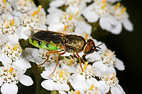Waffenfliege, Odontomyia hydroleon, Stratiomys hydroleon, barred green colonel, soldier fly, soldierfly, Waffenfliegen, Stratiomyidae, Stratiomyiidae, soldier flies, soldierflies