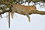 Pictured: The leopard resting in the tree.<br /> <br /> A leopard takes a nap up a tree with its kill carefully stored on a nearby branch to keep it out of reach of scavengers.  The predator had successfully caught and killed a gazelle before it dragged it and carried it up the tree.<br /> <br /> Exhausted by its efforts, the tired female took a moment to rest and slept on a branch of the acacia tree, dangling a paw down as it snoozed.  If a leopard does not bother to hoist its kill into a tree, it risks losing its meal to hyenas and lions.<br /> <br /> The pictures, taken at the Masai Mara National Park in Kenya, was captured by amateur photographer Daksha Dayanand Bapat, 24.  SEE OUR COPY FOR DETAILS.<br /> <br /> Please byline: Daksha Bapat/Solent News<br /> <br /> © Daksha Bapat/Solent News & Photo Agency<br /> UK +44 (0) 2380 458800