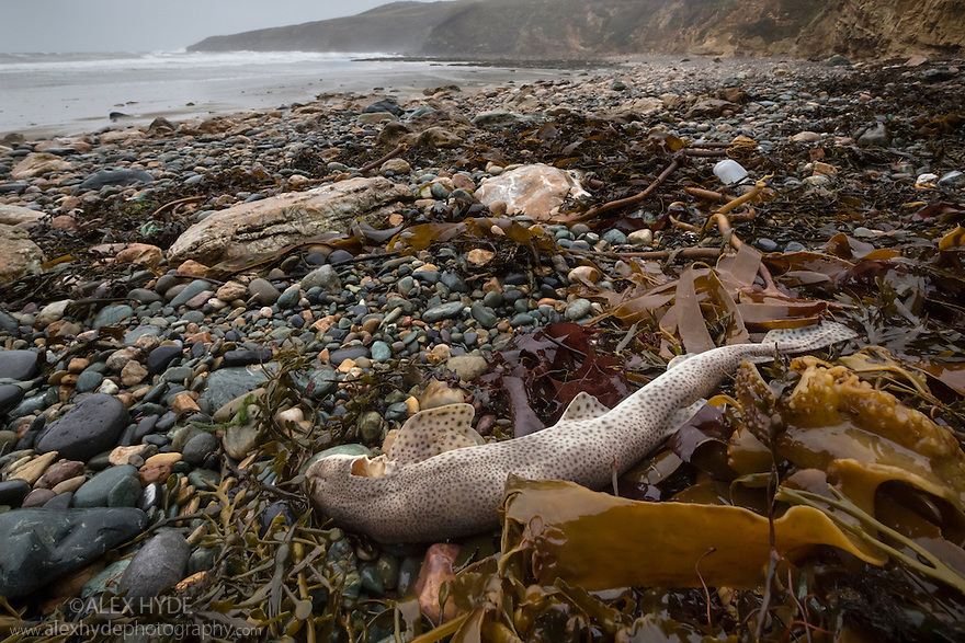 Dead Lesser Spotted Dogfish / Smallspotted Catshark {Scyliorhinus canicula} washed up on strand line following storms. Anglesey, Wales, UK. December.
