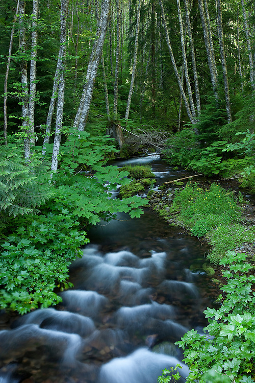 A small steam tumbles through lush green vegetatation in Gifford Pinchot NF, Washington