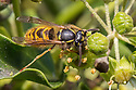 Common Wasp {Vespula vulgaris} feeding on Ivy flowers (Hedera helix). Peak District National Park, Derbyshire, UK. November.