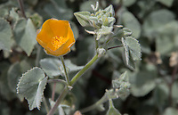 "Abutilon palmeri (indian mallow), seen during the 2018 ""California in my garden"" plant tour of the Orange County Chapter of the California Native Plant Society."