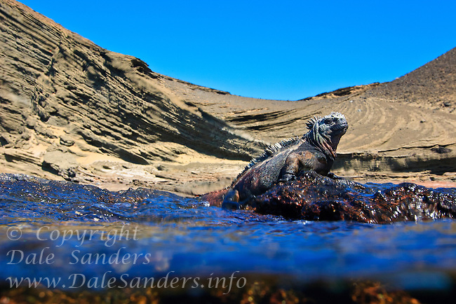 Marine Iguana (Amblyrhynchus cristatus) crawls out of the ocean onto a rock in the Galapagos Islands, Ecuador.