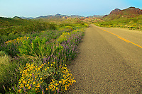 Wildflowers along Route 66, near Oatman, Arizona