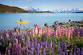 A kayaker paddles along the lupin covered Lake Tekapo foreshore with the Sibbald range in the distance, Mackenzie District, Canterbury, South Island, New Zealand.