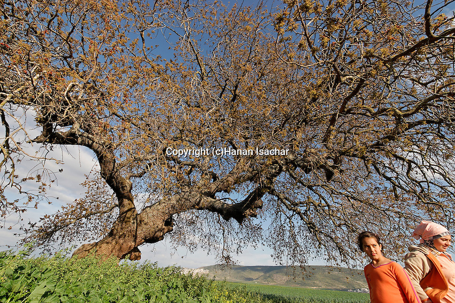 Israel, the Lower Galilee. Atlantic Pistachio (Pistacia Atlantica) tree in Beth Natofa valley.